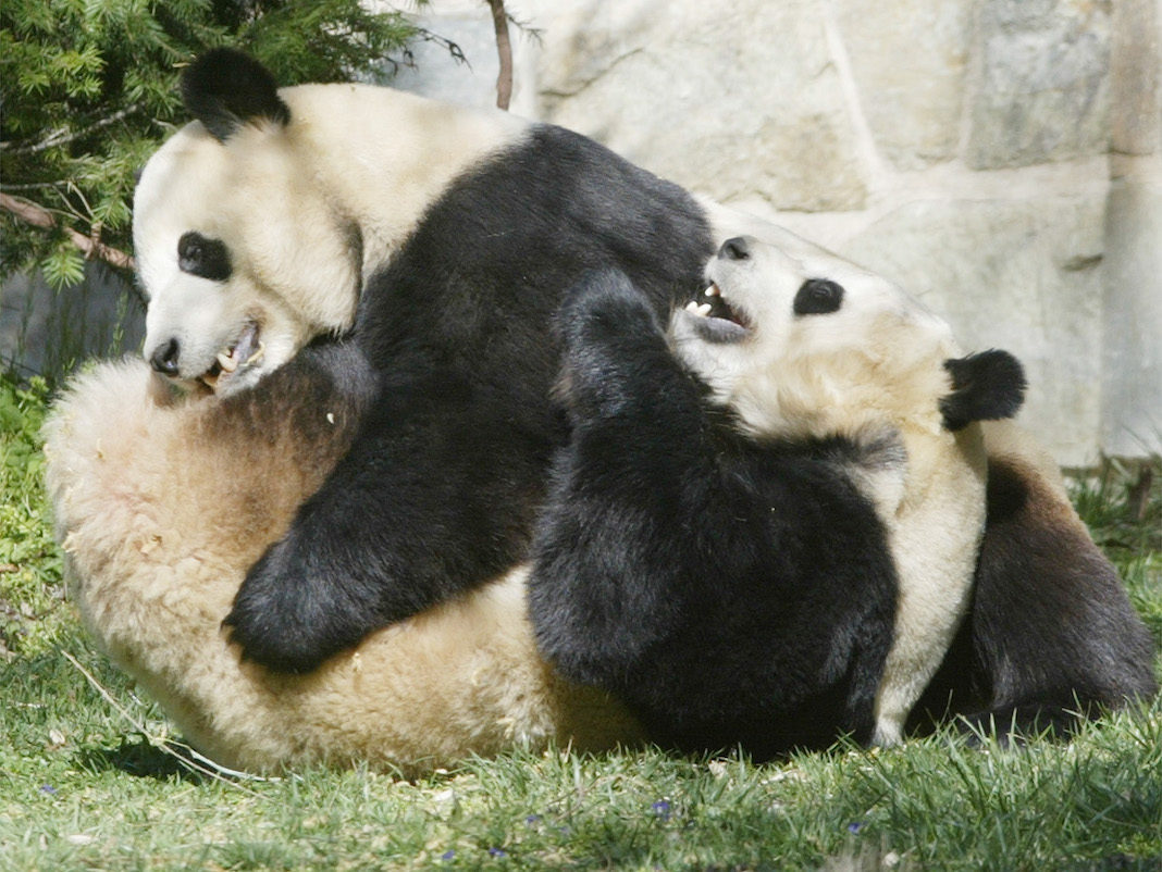 pandas at National zoo