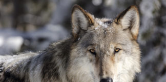 Wolf at Yellowstone Park